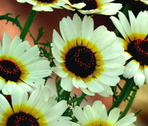 Daisy Painted Polar Star Chrysanthemum Carinatum Seeds