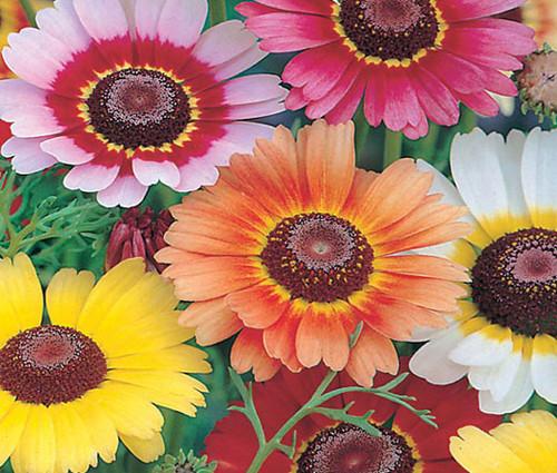 Daisy Painted Rainbow Mix Chrysanthemum Carinatum Seeds