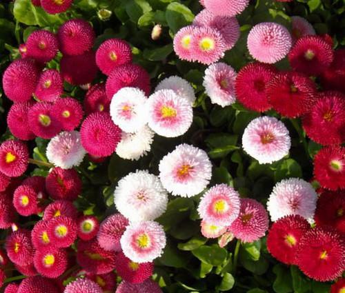 English Daisy Mix Bellis Perennis Super Enorma Seeds