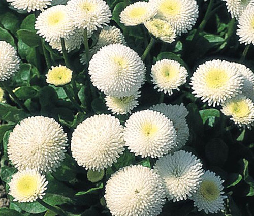 English Daisy White Bellis Perennis Super Enorma Seeds