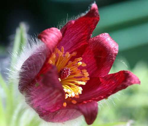 Pasque Flower Red Pulsatilla Vulgaris Rubra Seeds