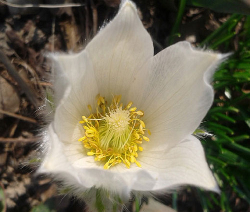 Pasque Flower White Pulsatilla Vulgaris Alba
