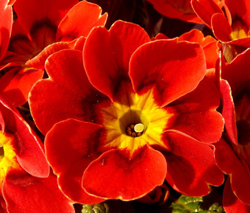 Primrose English Accord Scarlet Primula Vulgaris Seeds