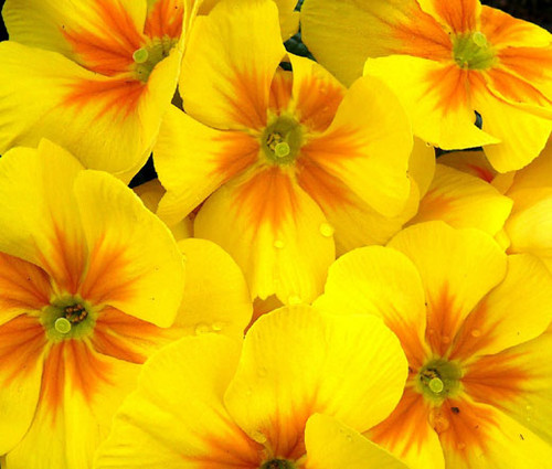 Primrose English Accord Yellow Primula Vulgaris Seeds