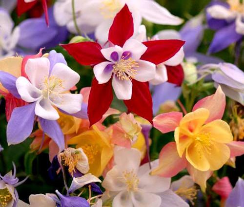 Columbine McKana Giants Aquilegia x Hybrida Seeds