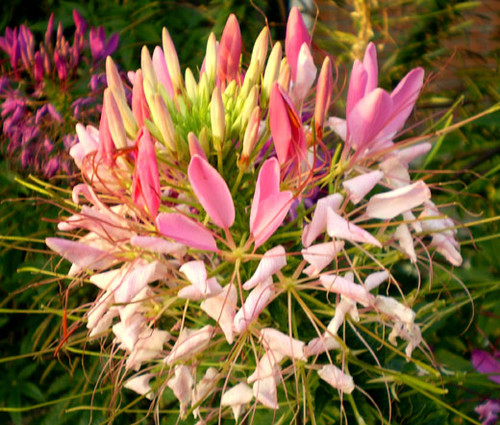 Spider Flower Rose Queen Cleome Hassleriana Seeds