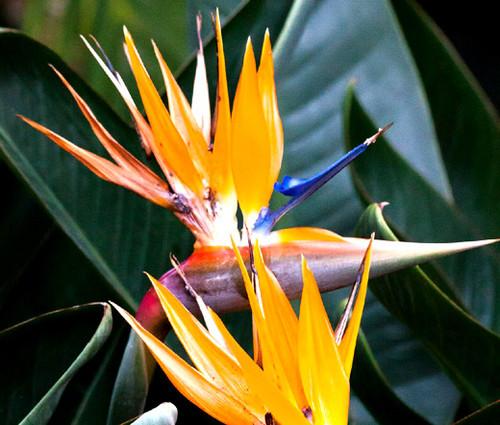 Bird of Paradise Dwarf Strelitzia Reginae Seeds