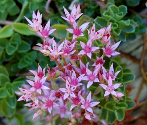 Sedum Stolon Stonecrop Sedum Stoloniferum Seeds