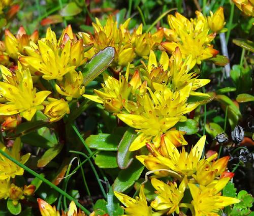 Sedum Russian Stonecrop Sedum Kamtschaticum Seeds