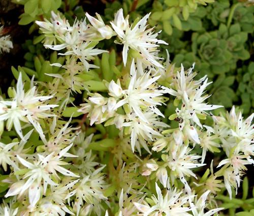 Sedum Cliff Stonecrop Sedum Glaucophyllum Seeds
