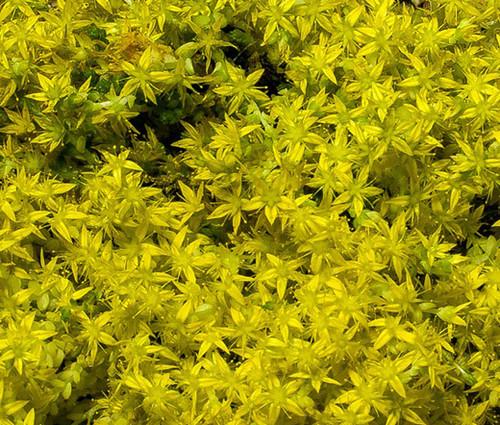 Sedum Yellow Stonecrop Sedum Ellacombianum Seeds