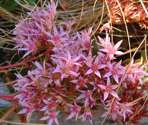 Sedum Purple Carpet Stonecrop Sedum Spurium Coccineum Seeds