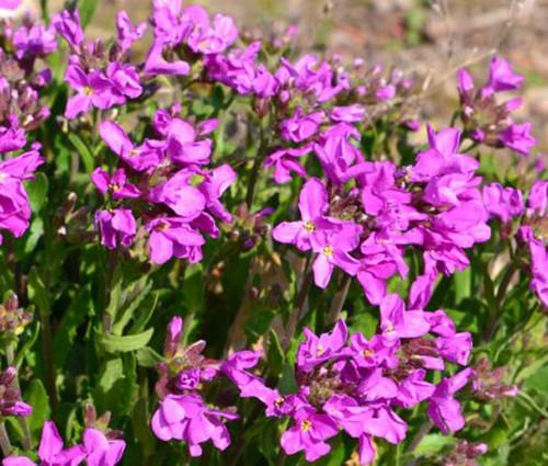 Arabis Wall Rock Cress Spring Charm Arabis Blepharophylla Seeds