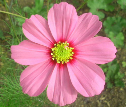 Cosmos Gloria Cosmos Bipinnatus Seeds