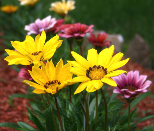 Gazania Garden Leader Mix Gazania Rigens Seeds