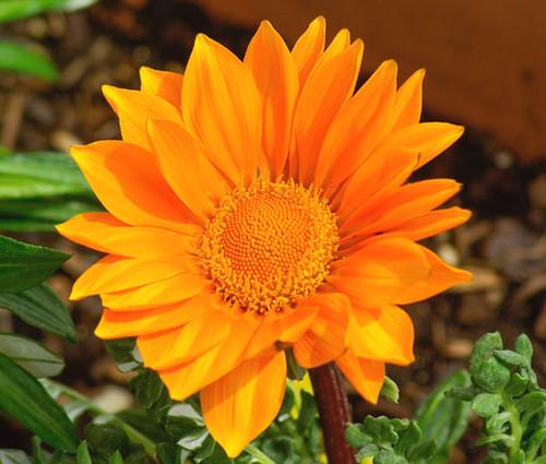 Gazania Garden Leader Orange Gazania Rigens Seeds