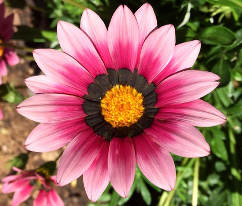 Gazania Garden Leader Pink Gazania Rigens Seeds