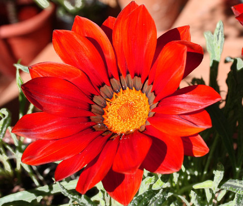 Gazania Kiss Frosty Red Gazania Rigens Seeds
