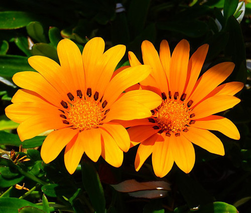 Gazania Kiss Orange Gazania Rigens Seeds