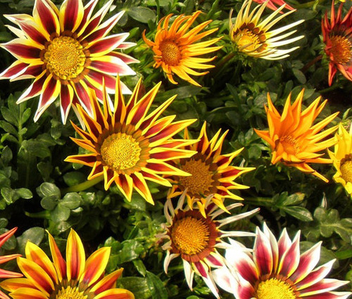 Gazania Logro Striped Mix Gazania Rigens Seeds