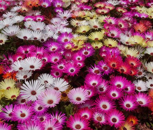 Ice Plant Mix Dorotheanthus Bellidiformis Seeds