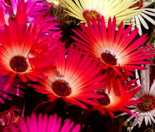 Ice Plant Gelato Bright Red Dorotheanthus Bellidiformis Seeds