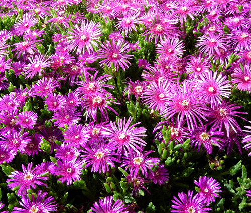 Ice Plant Pink Table Mountain Delosperma Cooperi Seeds