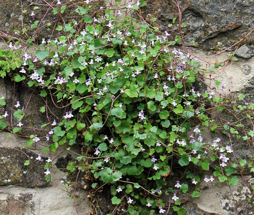 Kenilworth Ivy Cymbalaria Muralis Seeds