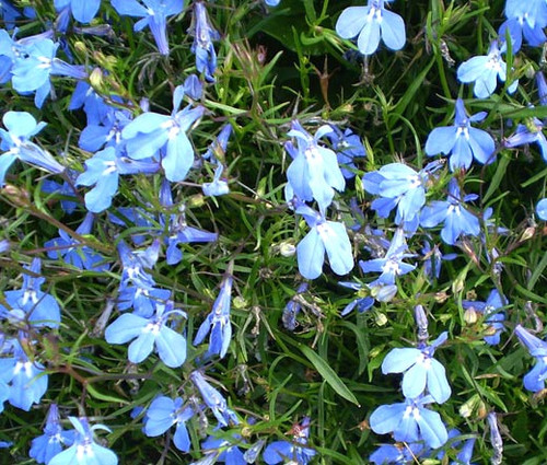 Lobelia Blue Carpet Lobelia Erinus Seeds
