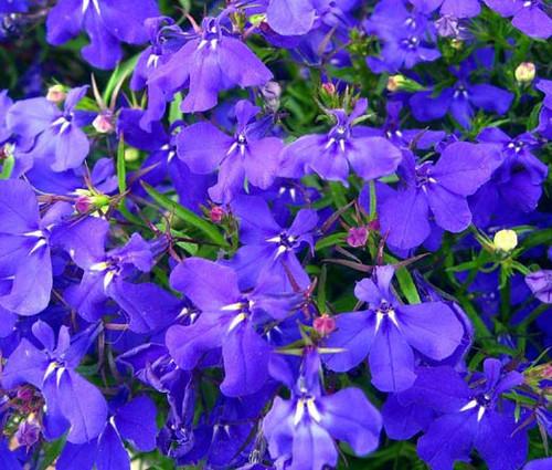 Lobelia Blue Mrs. Clibran Lobelia Erinus Seeds