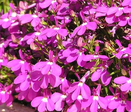 Lobelia Rosamond Lobelia Erinus Seeds