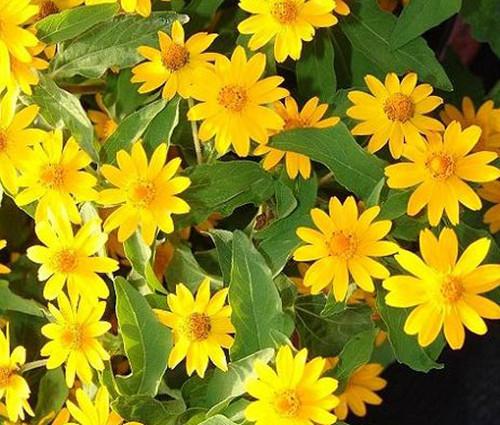 Melampodium Butter Daisy Melampodium Divaricatum Seeds