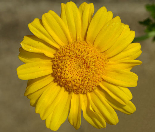 Daisy Garland Chrysanthemum Coronarium Seeds