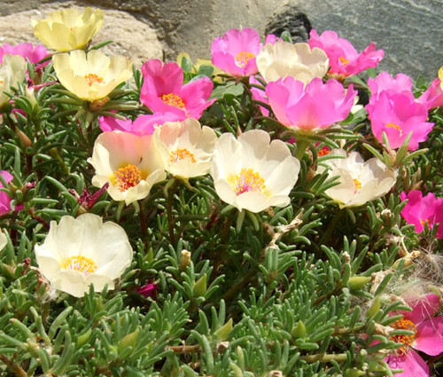 Moss Rose Mix Portulaca Grandiflora Seeds 2