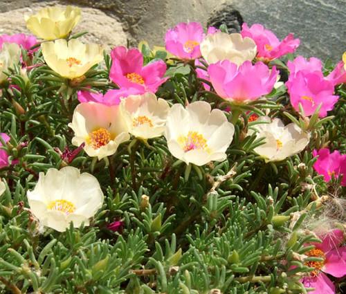 Moss Rose Mix Portulaca Grandiflora Seeds 2