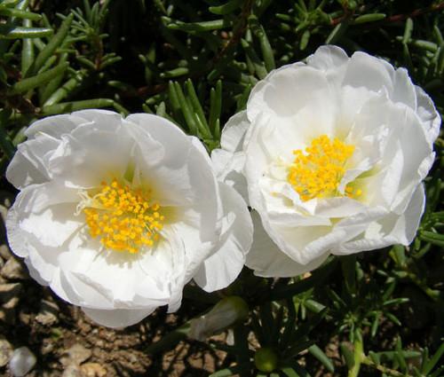 Moss Rose White Portulaca Grandiflora Seeds