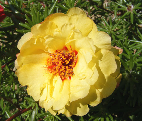 Moss Rose Yellow Portulaca Grandiflora Seeds