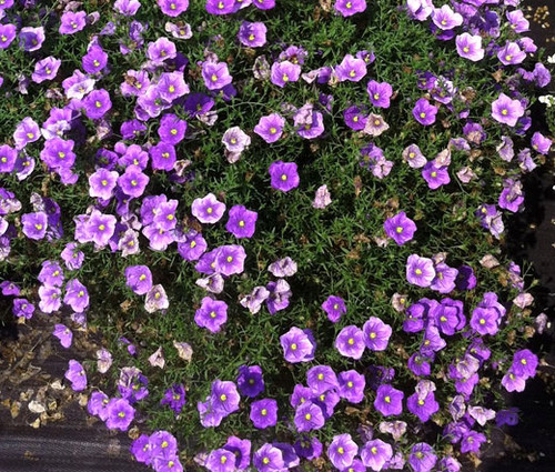 Cup Flower Purple Robe Nierembergia Hippomanica Seeds