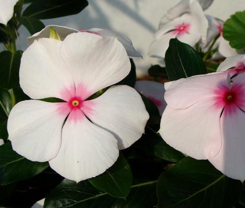 Periwinkle Dwarf Little Bright Eyes Catharanthus Roseus Seeds