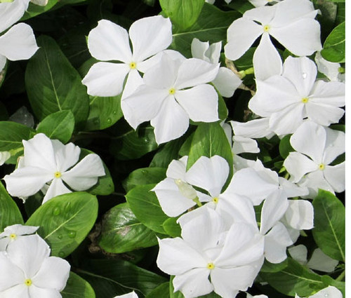 Periwinkle Dwarf White Little Blanche Catharanthus Roseus