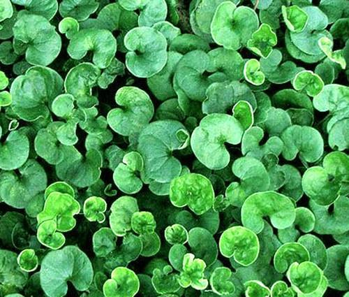 Dichondra Dichondra Repens Seeds