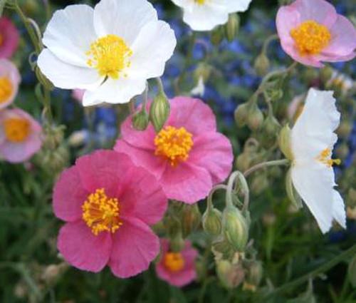 Rock Rose Common Mutabile Mix Helianthemum Nummularium Seeds