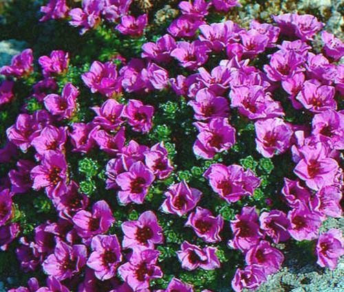 Rockfoil Purple Robe Saxifraga Arendsii Seeds