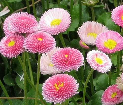 Daisy English Bellis Perennis Seeds