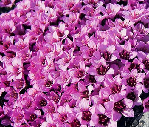 Rockfoil Rose Robe Saxifraga Arendsii Seeds