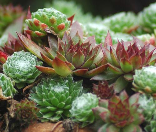 Houseleek Sempervivum Hybridum Seeds
