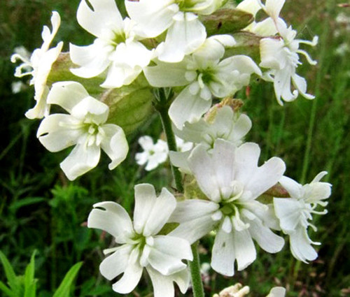 Nodding Catchfly White Snowdrop Silene Pendula Seeds