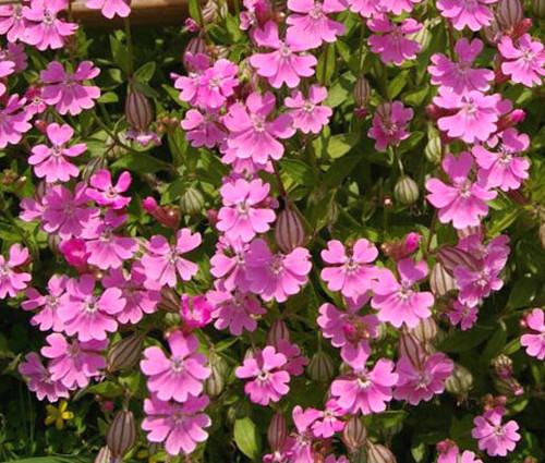 Catchfly Nodding Rose Triumph Silene Pendula Seeds