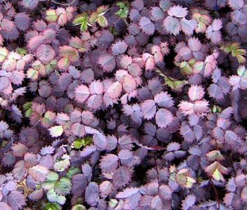 New Zealand Burr Acaena Inermis Purpurea Seeds