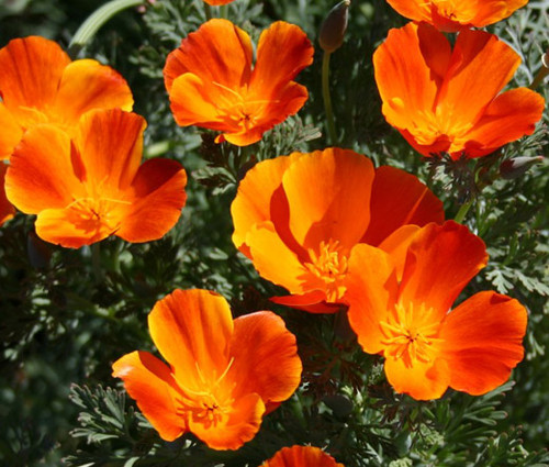 California Poppy Mikado Seeds Eschscholzia Californica